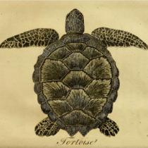 Illustrated tortoise
