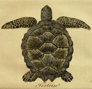 hist295_turtle_310